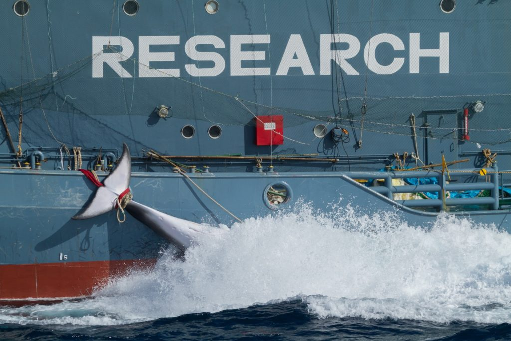 The dead minke whale hold by the Yushin Maru 2 © Sea Shepherd / Marianna Baldo